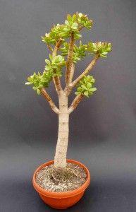 Obrazek Bonsai Plants, Planting Plants, Crassula Ovata, Feng Shui, Succulents, Gardening, Vases, Garden, Flowers