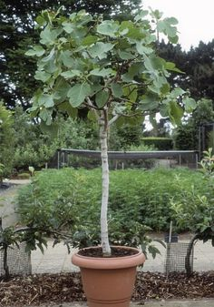 How to grow fig trees in pots - Telegraph