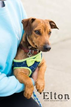 Elton is an adoptable Dachshund searching for a forever family near Newport, KY. Use Petfinder to find adoptable pets in your area. Newport, Dachshund, Searching, Adoption, Pets, Animals, Foster Care Adoption, Animales, Search