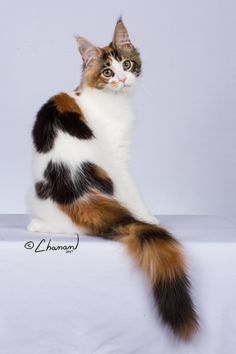 Clara Wrigley of Coons' Kin What Cats Can Eat, I Love Cats, Cute Cats, Pretty Cats, Beautiful Cats, Animals Beautiful, Gato Calico, Calico Cats, Animals And Pets