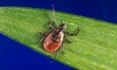 Powassan Virus: New Test Reveals Rare Tick-Borne Disease More Dangerous Than Lyme Richard Gere, Natural Tick Repellent, Merck Manual, Deer Ticks, Tick Bite, Mosquitos, Lymph Nodes, Chronic Fatigue Syndrome, Rheumatoid Arthritis
