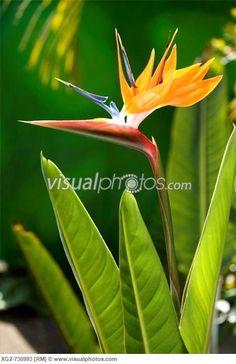 bird of paradise flower patterns | Bird of Paradise flower. USA, Hawaii, Maui