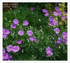 Geranium incanum 'Mt Tamborine' We grow this tough and beautiful South African cranesbill in our dry garden where it makes wide low evergreen mats of finely dissected dark green leaves. The whole plant is smothered by intense purple flowers for most of sp