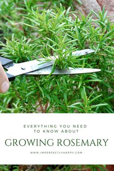 Gardening Tips Everything You Need to Know About Growing Rosemary at home. - Growing rosemary is a wonderful way to have this aromatic herb available anytime. Fairly easy to grow, harvest and propagate. Growing Vegetables, Growing Plants, Growing Herbs Indoors, Gardening For Beginners, Gardening Tips, Culture D'herbes, Types Of Herbs, Pot Jardin, Home Vegetable Garden