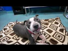 HAPPYTEARS ❤️❤️ SAFE❤️❤️ 1/14/17❤️ PLEASE TREAT HIM LIKE A KING FOR THE REST OF HIS LONG HAPPY LIFE❤️❤️ I LOVE HIM SO MUCH❤️❤️/ij🐾🐾 Brooklyn Center  My name is OPIE. My Animal ID # is A1100955. I am a male gray and white pit bull mix. The shelter thinks I am about 4 YEARS old.  I came in the shelter as a STRAY on 01/03/2017 from NY 11412, owner surrender reason stated was STRAY. http://nycdogs.urgentpodr.org/opie-a1100955/