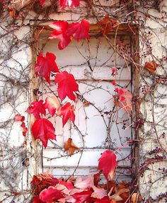 Shuttered window with red ivy