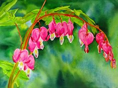 Watercolours  by Maria Balcells: BLEEDING HEARTS