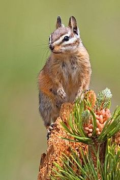 The least chipmunk (Tamias minimus) is the smallest species of chipmunk, and the most widespread in North America.