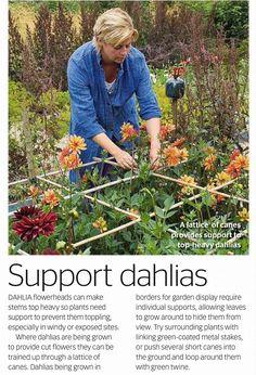 Dahlia unterstützt - Another! Garden Bulbs, Garden Plants, Begonia, Growing Dahlias, Flower Farmer, Cut Flower Garden, Plant Supports, Petunias, Dahlia Flower