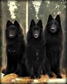 3 Black Beauties.- the black wolf is a melanistic colour variant of the grey wolf. Genetic research from the Stanford University School of Medicine and the University of California, Los Angeles revealed that wolves with black pelts owe their distinctive colouration to a mutation which occurred in domestic dogs, and was carried to wolves through wolf-dog hybridisation.