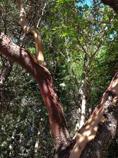 Madrone Tree      Photo by KAM
