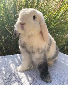 8 Things You Do That Upsets Your Bunny! -Are you looking for rabbit care tricks and advice to learn new ideas about your bunny? Cute Little Animals, Cute Funny Animals, Cute Dogs, Cute Baby Bunnies, Bunny Bunny, Grey Bunny, Tier Fotos, Cute Creatures, Animals Beautiful