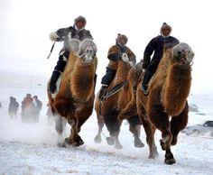 Mongolian Camel riders