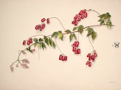 Norton, E., Brazilian flowers, drawn from nature in the years in the neighbourhood of Rio de Janeiro, t. Flowers Drawn, Love Flowers, Garden Seeds, Botanical Illustration, Natural History, Illustrators, The Neighbourhood, Nature, Flower Illustrations