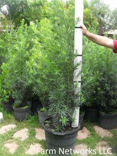 Put option hedge nursery