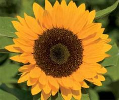Organic Sunflower (Helianthus annuus) -Zohar is a hybrid single stem sunflower. This popular cut flower, is an old-time favorite that is native to the U.S. They are very easy to grow! Flower are 4