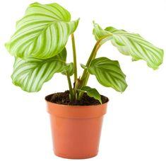 Prayer Plant, Indoor Plants, Planter Pots, Prayers, Flowers, Gardening, Life, Gardens, Plants