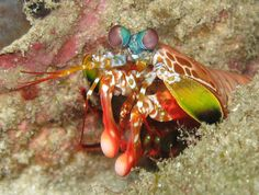 Our Dear Reader, Crunchy, has asked us to hurry up and get onto the Mantis Shrimp. Keen to please, what can I do but oblige? As it turns out...