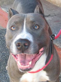 Blue is a very handsome young male dog who was found wandering around Brooklyn and pulled to rescue.  He's a big boy, almost 70 lbs and willl require an owner that understands the idea that dogs require a leader; that dogs require exercise,...