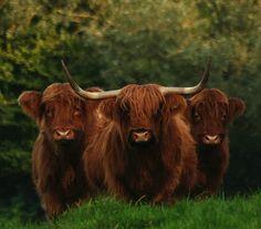 ~ Scottish Highlander Cattle ~