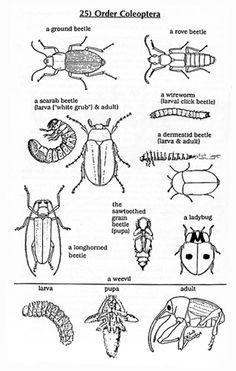beetle anatomy diagram google search homeschool. Black Bedroom Furniture Sets. Home Design Ideas