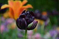 #Tulip #Keukenhof #Netherlands #Travel #Flower