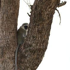 Vervet Monkey by Isabel Display Advertising, Print Advertising, Kruger National Park, National Parks, Retail Merchandising, Us Images, Wall Art Prints, Monkey, Wildlife
