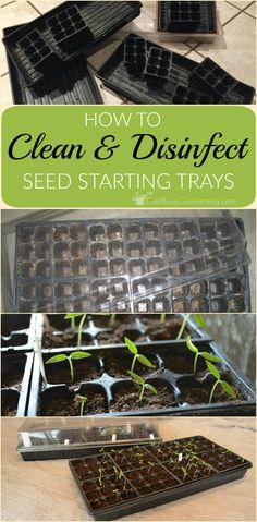 Protect your seedlings from damping off (seedling blight) by first cleaning and disinfecting seed trays and flats. Here are easy to follow instructions.