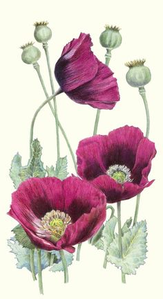** favorite scientific drawing, plus love the color -- plum colored poppies. Possibly opium poppies. Botanical Flowers, Botanical Prints, Art Floral, Watercolor Flowers, Watercolor Paintings, Drawing Flowers, Tattoo Flowers, Colour Drawing, Poppy Drawing