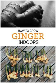 Ginger is the perfect herb to grow indoors. It‰Ûªs very low-maintenance, loves partial sunlight, and you can use parts of it at a time, leaving the rest in the soil to continue growing. Besides, it's delicious! Really, what's not to love about year round vegetable gardening, especially when it comes to growing ginger inside? #Garden #indoorvegetablegardeningyearround
