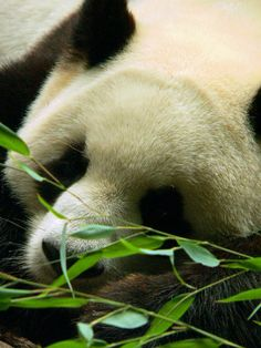 Zoo de Beauval - Panda 30