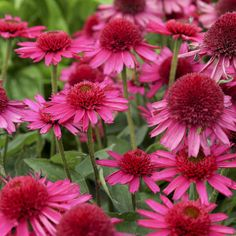 Bloomin Designs Nursery - ECHINACEA 'Delicious Candy' PPAF (20)ct Flat, $144.70 (http://bloomindesigns.com/echinacea-delicious-candy-ppaf-20-ct-flat/)