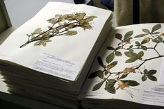 The JCB Herbarium is house to thousands of plants and came into being under the care of Father Saldahana, Dr. Sankara Rao and their team. Read more about their love for plants and the birth of herbarium from it. Botanical Prints, Botanical Gardens, Nature Journal, How To Preserve Flowers, Medicinal Herbs, Botanical Illustration, Botany, Dried Flowers, Flower Art