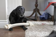 We didn't think a dog could have a bone too big but it appears we might be wrong!