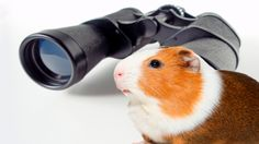 Guinea Pig is looking around for food