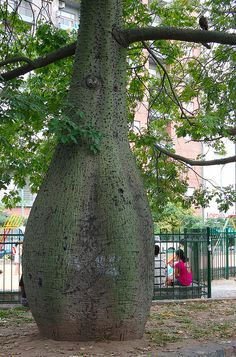 Palo Borracho Trunk (You can see the thorns where the trunk thins down.) - photo by blmurch, via Flickr Green, Pictures, Beauty, Board, World, Scenery, Plants, Buenos Aires, Photos