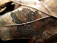 Here's a closeup of the intricate webbing of fibers being exposed by time and decay on a maple leaf in southern Illinois in December. Soon, this leaf will be nothing but a skeleton, and then it will be soil again soon after that. Close Up Photography, Nature Photography, Sycamore Seed, Leaf Skeleton, Natural Form Art, Growth And Decay, A Level Art, School Art Projects, Natural Phenomena