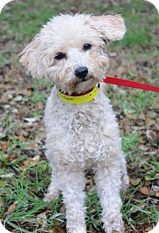 Pictures of JULIET a Poodle (Miniature)/Maltese Mix for adoption in Kansas City, MO who needs a loving home.