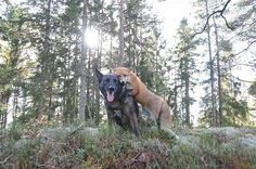 The Extraordinary Friendship of a Wild Fox and a Dog