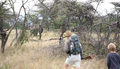 Walking #safari out of Rekero Naboisho Camp (#Kenya) is one of the great highlights of the area. Camp manager Ruelof is a serious guide who is ready and prepared to approach big game on foot. africatravelresource.com