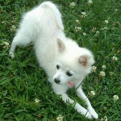 Sweet puppy! Toy American Eskimo.