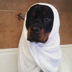 Oh yeah...I'm a furious Rottweiler
