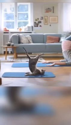 In order to have a good figure, the cat also started yoga with the owner. Cute Baby Animals, Funny Animals, Cute Cats, Funny Cats, Cat Gym, Gym Video, Crazy Life, Funny Animal Videos, How To Do Yoga