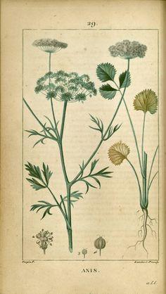 anis - gravure ancienne couleur de flore médicale