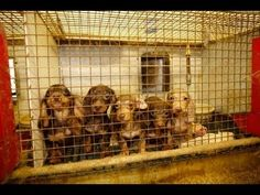 There are over 10,000 puppy mills in the country that produce over 2.4 million puppies a year and some of them end up in Virginia's pet stores. It has been proven that in Virginia, by the HSUS 2014 investigation of our pets stores, that OUR pet stores repeatedly break the laws. ( http://www.humanes...