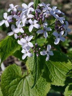 Lunaria Redivivia. Perennial honesty. Simply shaped, soft lilac, almost white flowers are held in loose clusters on tall, upright well-branched stems that also carry large, heart-shaped leav...