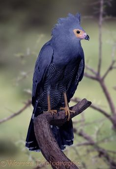 Photograph of African Harrier-hawk (Polyboroides typus). Rights managed image. Most Beautiful Birds, Pretty Birds, Exotic Birds, Colorful Birds, Beautiful Creatures, Animals Beautiful, Hawk Photos, Big Bird, Bird Pictures
