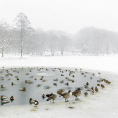 Geese in cold pond, Imgend