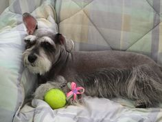 Relaxing. | A community of Schnauzer lovers!