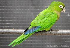 Aratinga nana - Olive-throated Parakeet